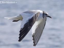 Sabine's Gull (Xema sabini) - Pennington Flash