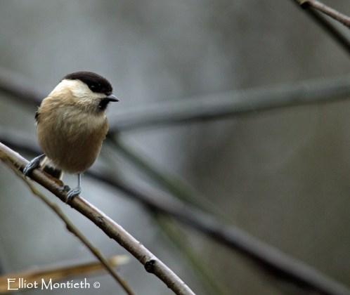 Willow Tit (Poecile montanus) - Pennington Flash