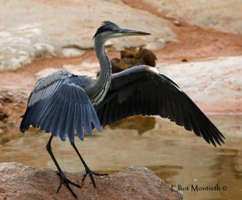 Grey Heron (Ardea cinerea) - Valencia