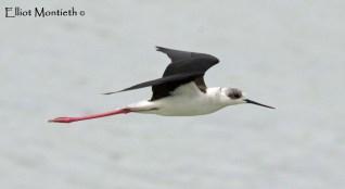 Black-winged Stilt (Himantopus himantopus) - Calpe Salt Lake