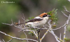 Woodchat Shrike (Lanius senator) - Clape Salt Lake