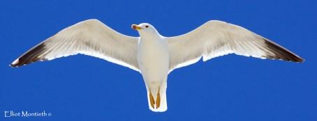 Yellow-legged Gull (Larus michahellis) - Javea
