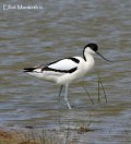 Pied Avocet (Recurvirostra avosetta) - For many places such as the Dee Estuary then the Avocet which is strictly a breeding bird is one of the first signs that change is to come