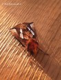 This Goldspot was just one of many faboulous Moths which we encountered during our stay