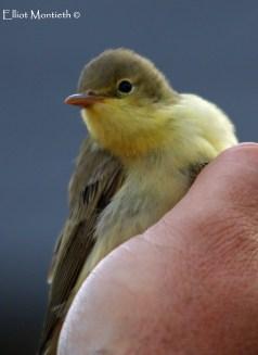 Icterine Warbler (Hippolais icterina) - Bardsey Island, Gwynedd