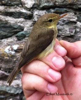 Melodious Warbler (Hippolais polyglotta) - Bardsey Island, Gwynedd