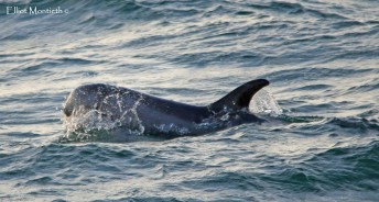 This beautiful Risso's Dolphin showed rediculously close as it came past the North Hide