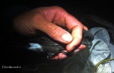 European Storm Petrel in the hand