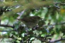 Arctic Warbler (Phylloscopus borealis) - RSPB Bempton Cliffs, East Yorkshire