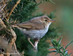Booted Warbler, Great Orme, Conwy