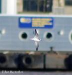 Grey Phalarope, Seacombe Ferry, Wirral