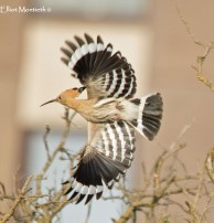 Eurasian Hoopoe (Upupa epops) - A annual scarce spring migrant from the continent which has bred on several occations