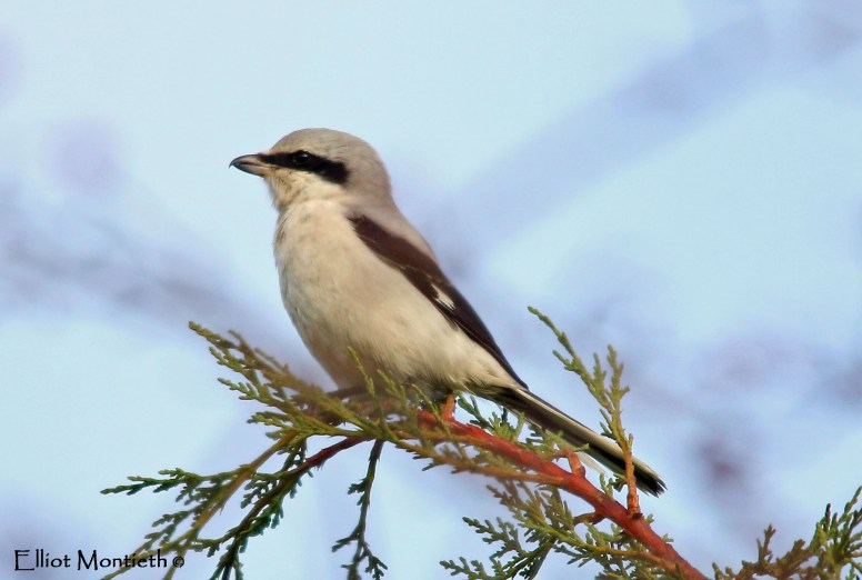 Great Grey Shrike, Little Woolden Moss, Gtr Manchester