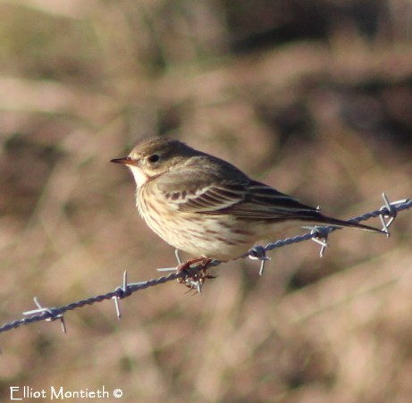 American Buff-bellied Pipit, Burton Marsh, Cheshire