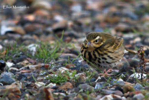 Olive-backed Pipit - Easington, East Yorkshire