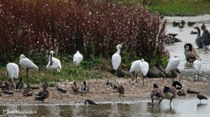 Spoonbill - RSPB Burton Mere Wetlands, Cheshire