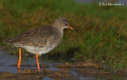 Common Redshank (Tringa totanus) - By far my best shot of this species
