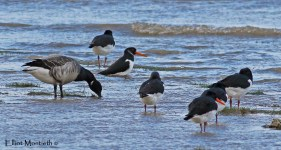 Up to 9 pale-bellied Brent Geese were found amongest the thousands of waders during the High Tide