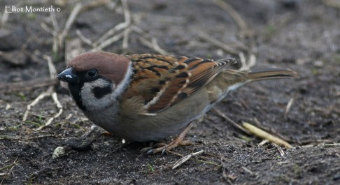 European Tree Sparrow (Passer montanus)