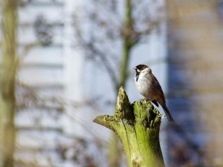 Common Reed Bunting (Emberiza schoeniclus) - Image by Luke Anderson