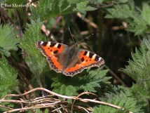 Small Tortoiseshell (Aglais urticae) - Our first butterfly of the visit