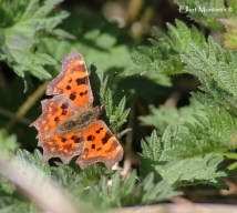 Comma (Polygonia c-album) - Out amongest the nettles with several ST on the lakes N bank