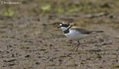 Little Ring Plover (Charadrius dubius) - Field Farm Flash (Sandbach Flash's) Cheshire