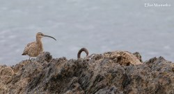 """Whimbrel (Numenius phaeopus) - May look identifcal to it's sister the Eurasian Curlew, but it's brown crown & shorter more """"normal"""" looking solid black bill help to seperate the two"""