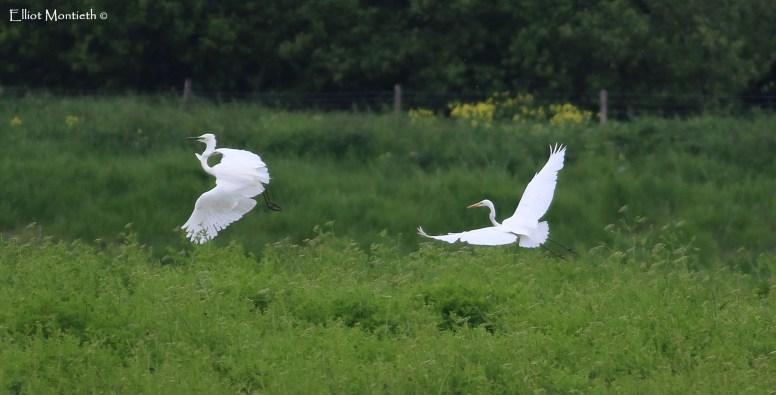 Great White Egret (Ardea alba) - RSPB Burton Mere Wetlands, Cheshire