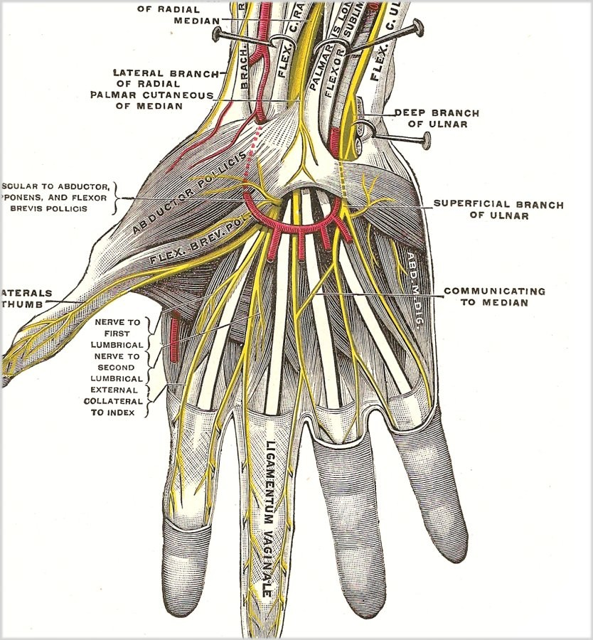 Wrist Anatomy Elliots World