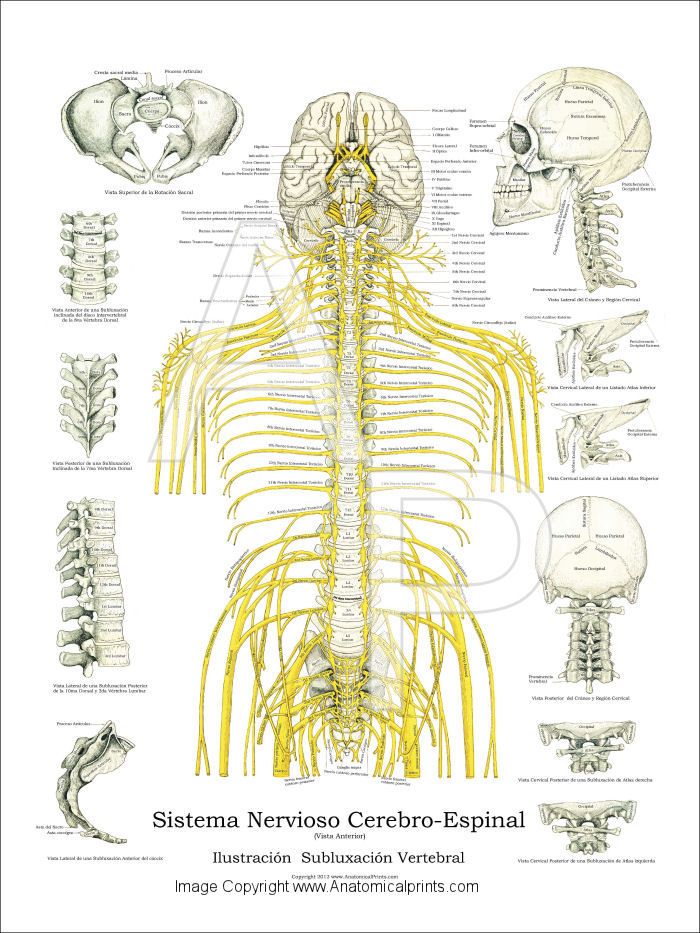 Anatomy Of The Spine Part 2 Thoracic Elliots World