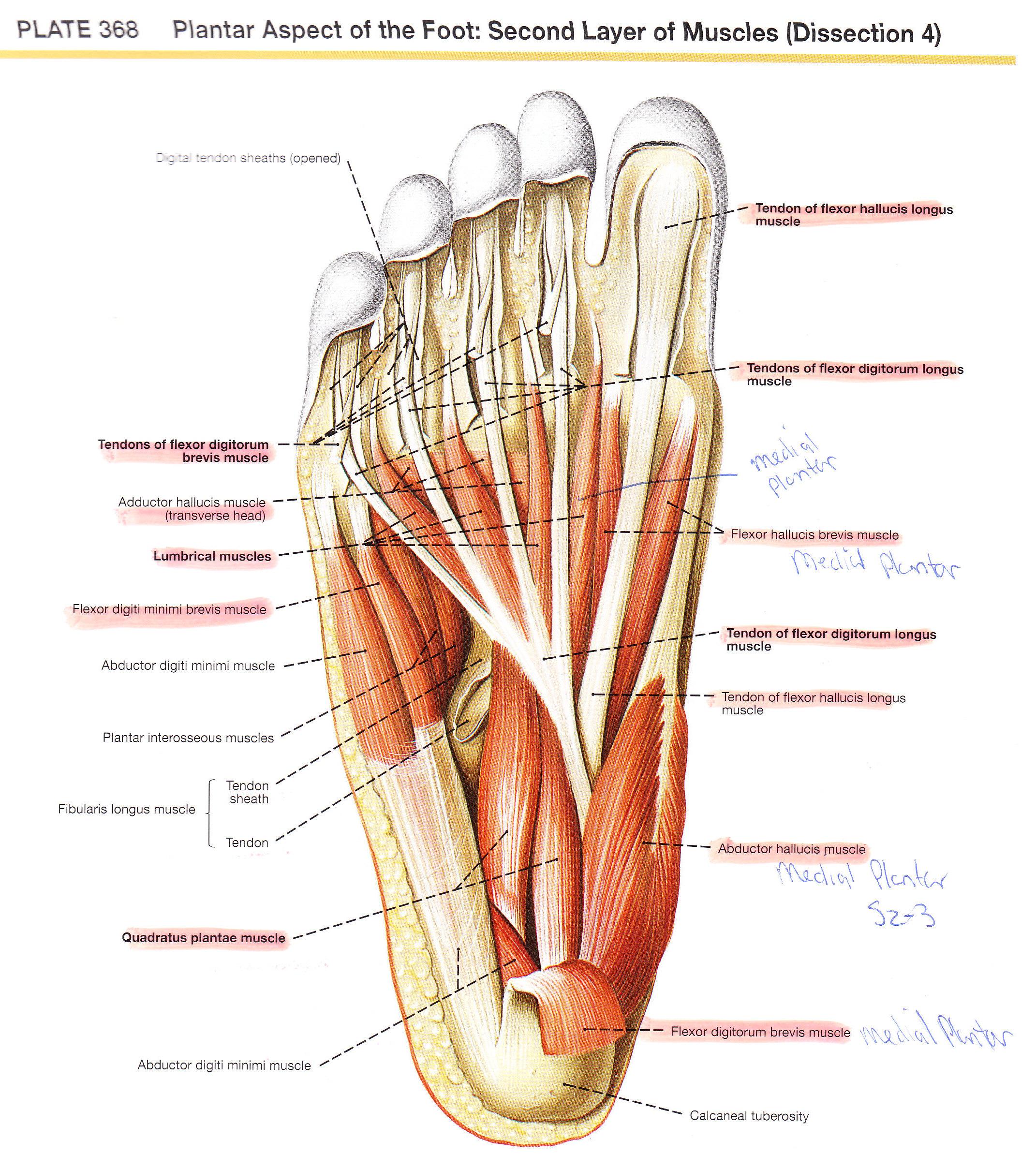 Foot Anatomy And Function Pda Elliots World