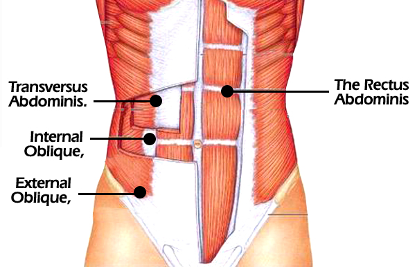 Image result for rectus abdominis