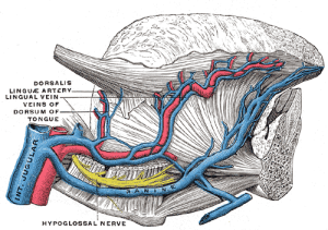 tongue_arteries