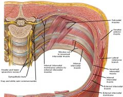 subcostal_muscles_ depiction