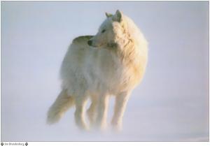 The_Wanderer_Part_28_jim-brandenburg_arctic_wolf
