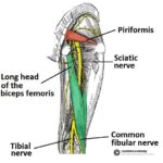 Posterior-View-of-the-Lower-Limb-Anatomical-Course-of-the-Sciatic-Nerve