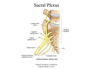 prentice-hall-sacral-plexus