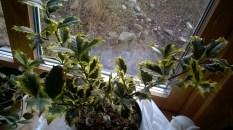 Ilex aquifolium 'Aurea Marginata'2