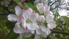 Äppelblom (4)