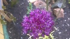 Allium (4)