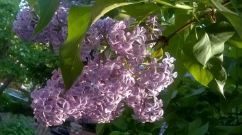 Trädgård Maj2016 (11)
