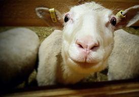 suomenlamma, huovutusvilla, huopa, huovutus, kehrääminen, lammastila, ellunhuopa, ellun huopa, huovutusvinkki