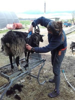 villa, lammas, keritseminen, suomenlammas, musta lammas, huopa, huovuus