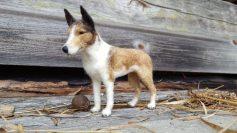 collie, neulahuovutettu koira, koiran taulu, lahja koiran omistajalle