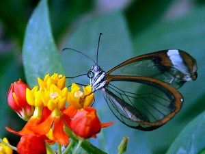 Image courtesy to Wikimedia, http://upload.wikimedia.org/wikipedia/commons/0/03/Butterfly_transparent.jpg