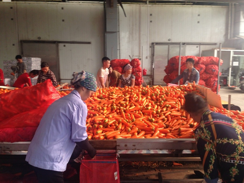 Workers are cutting tails roots of fresh carrot in Vietnam, new crop fresh carrot in Vietnam
