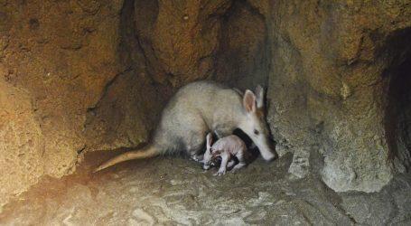 Nace el segundo oricteropo español en Bioparc Valencia