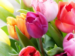 tulips, tulip bouquet, colorful