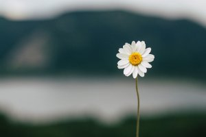 daisy, flower, lake